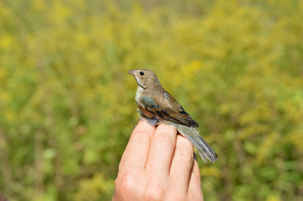 Hatching year male Indigo Bunting banded at Rushton this September. Photo by Blake Goll