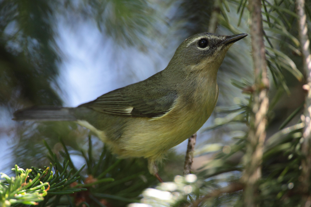 Female Black-throated Blue warbler. Photo by Dustin Welch