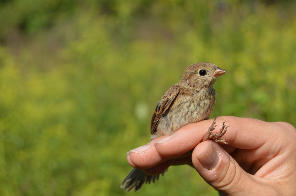 Young Field Sparrow banded at Rushton this September.