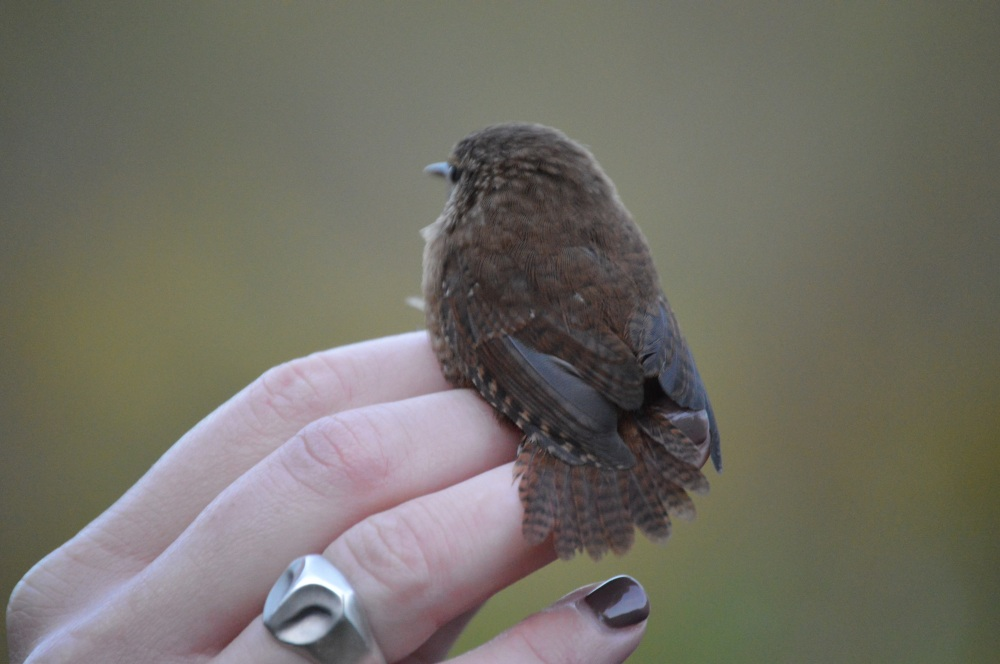 Winter Wren at Rushton this Fall