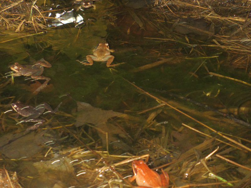 Wood Frogs in a vernal pool. Photo taken by Meta Poulos-Christaldi during our Jr. Birding Club vernal pool exploration March 2015.
