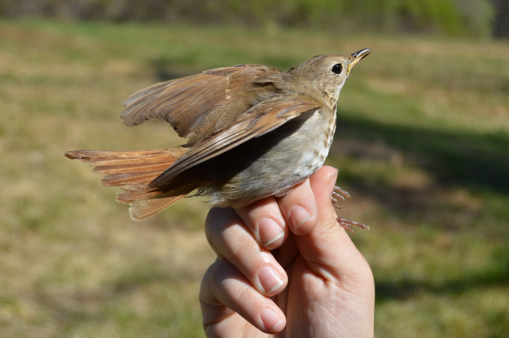 Hermit Thrush before release in April. Photo by Blake Goll/Staff