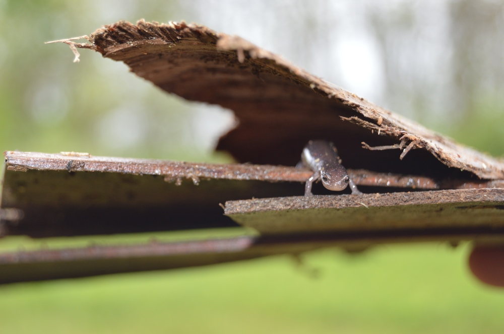 Dusky salamander at Rushton in May. Photo by Blake Goll/Staff