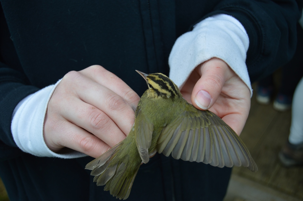 Worm-eating Warbler in May. Photo by Blake Goll/Staff