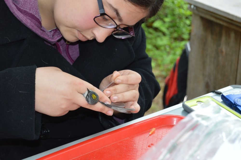 A Drexel co-op student takes a blood sample from a Yellow-rumped Warbler for a study on how Lyme disease bacteria moves through the environment.