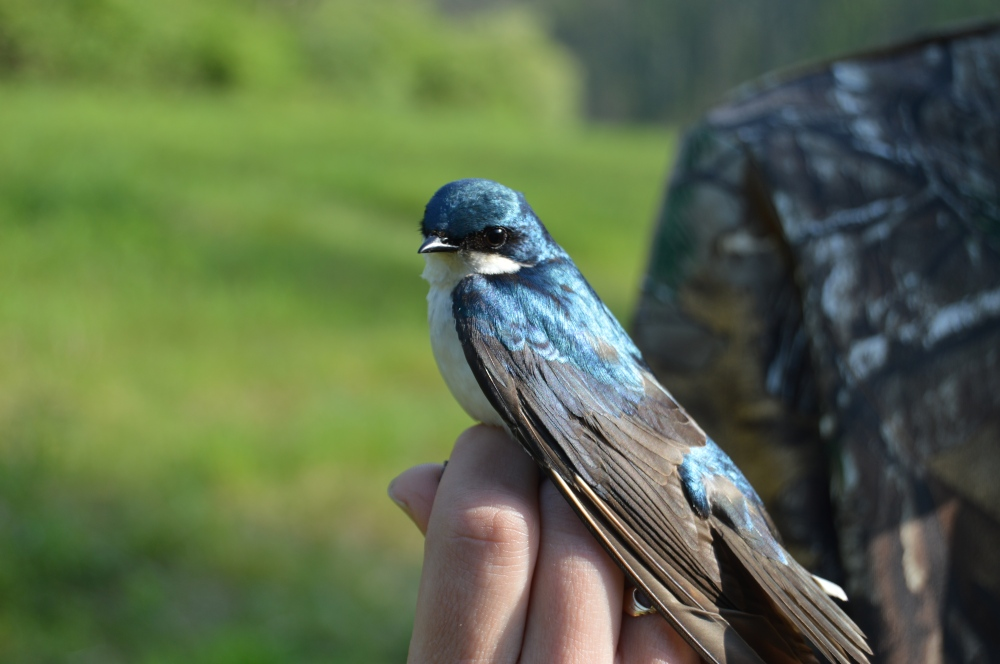 A handsome Tree Swallow in May. Photo by Blake Goll/Staff