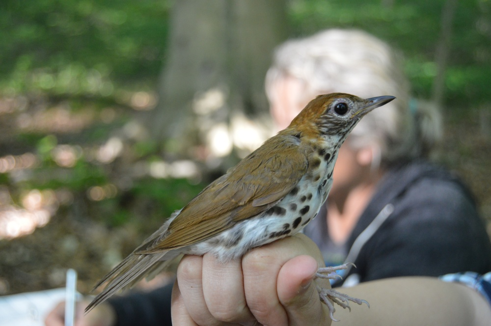 Adult Wood Thrush. Photo by Blake Goll/Staff