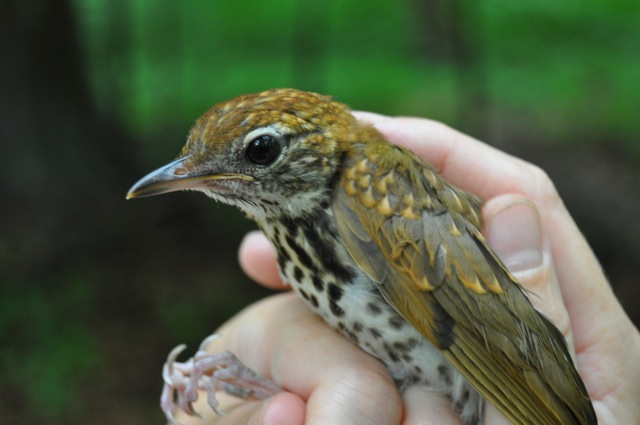A juvenile Wood Thrush that is most likely still being fed by parents. Photo by Bracken Brown