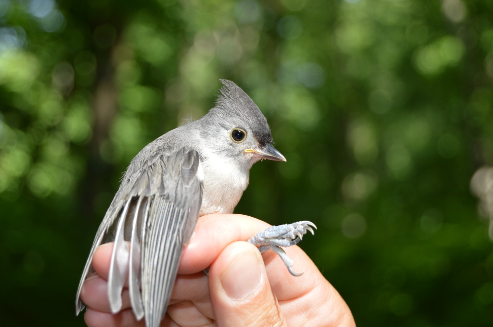 Juvenile Tufted Titmouse. Photo by Blake Goll/Staff