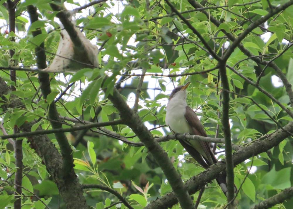 Yellow-billed Cuckoo eyeing up an Eastern tent caterpillar nest. Photo by Ian Gardner. A pair of these cuckoos nested near the banding station this spring!