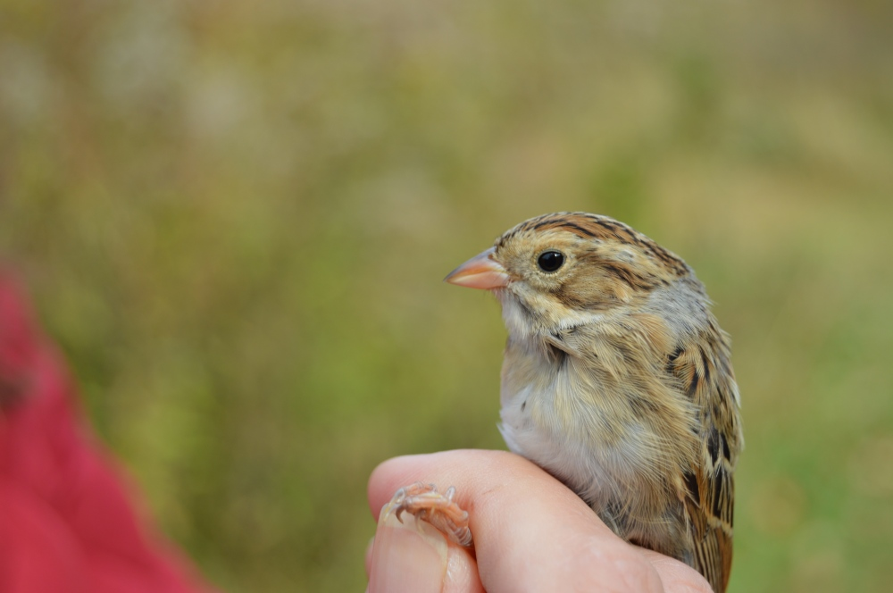 Clay-colored Sparrow. October 2015. Photo by Blake Goll/Staff