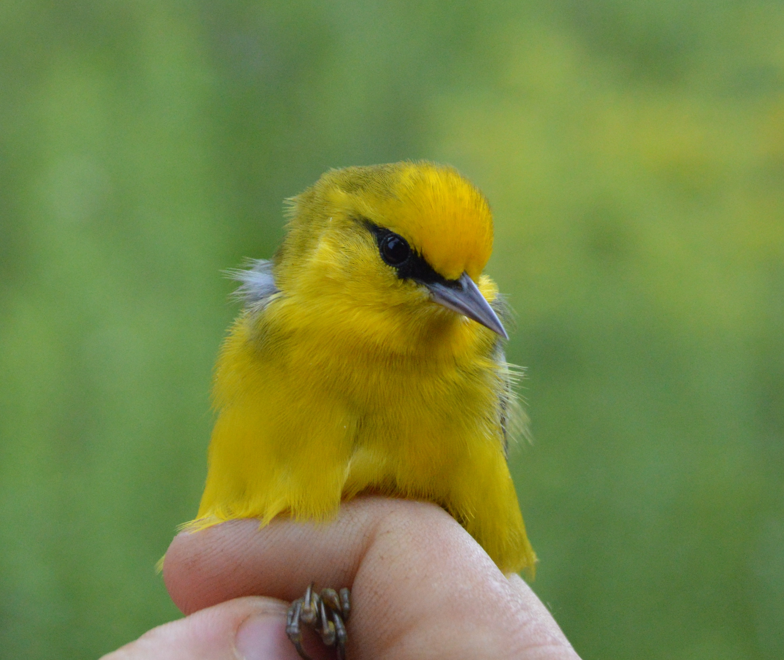 Male Blue-winged Warbler banded this September at Rushton. Photo by Blake Goll/Staff