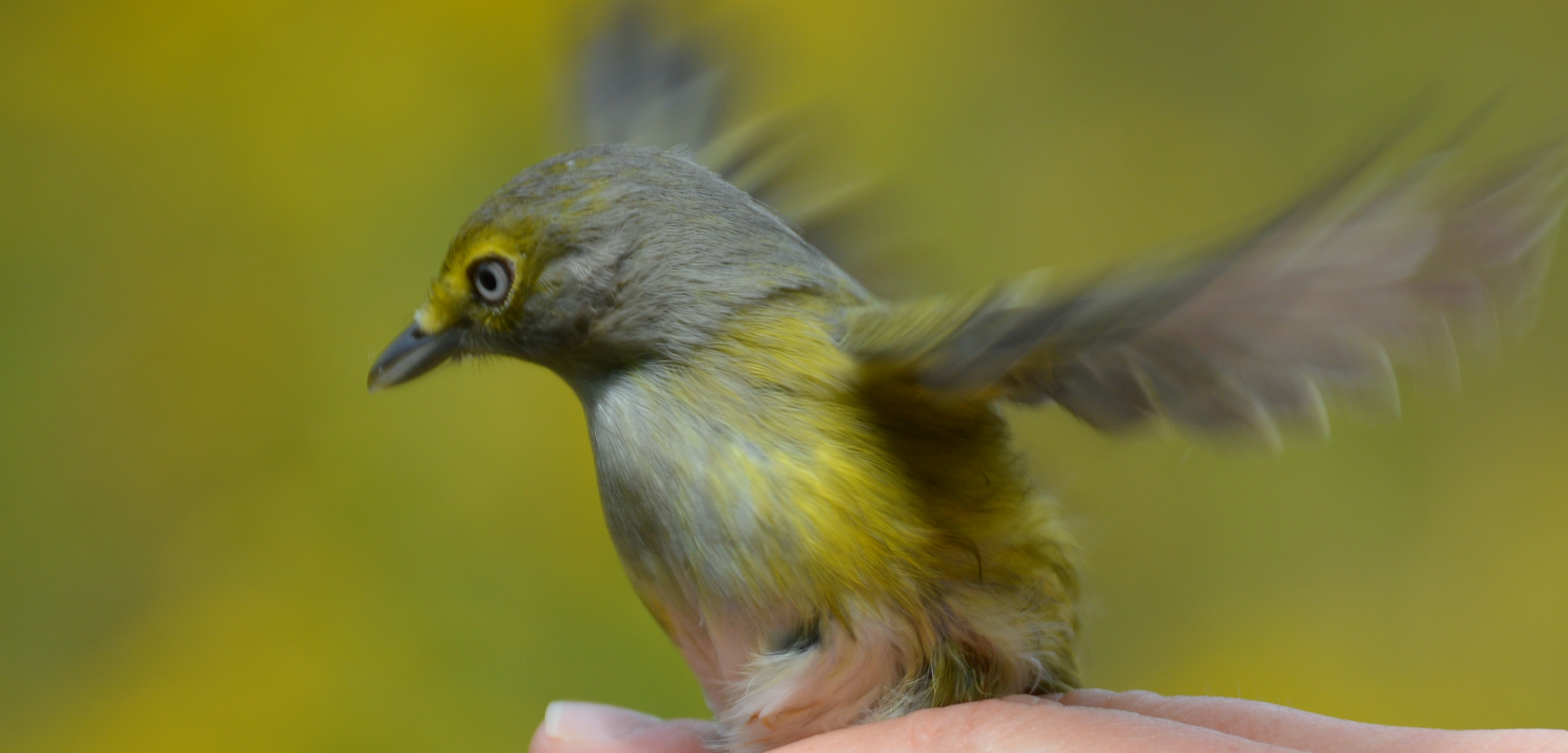 White-eyed Vireo being released after banding. Photo by Blake Goll/Staff