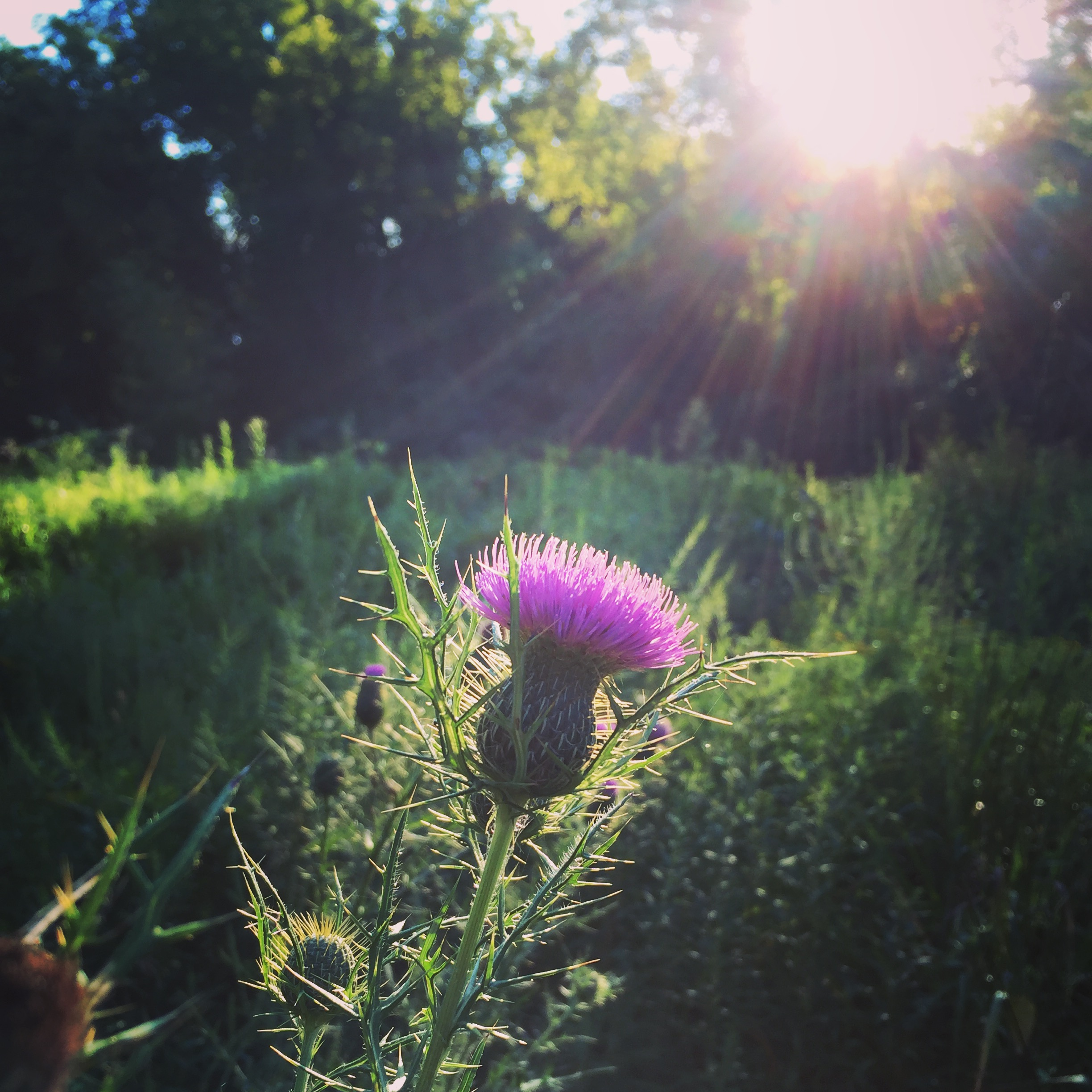 Native Field Thistle awaiting the buzz of pollinator activity in the early morning light at Rushton this August. Photo by Blake Goll/Staff