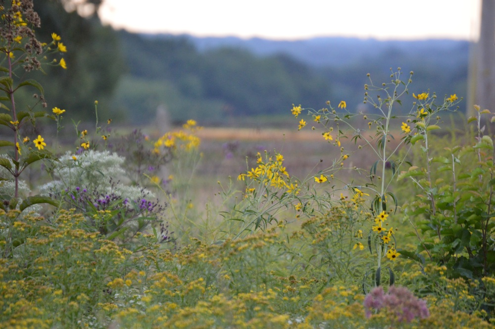 The Willistown Conservation Trust's wildflower meadow in September. Photo by Blake Goll/Staff.