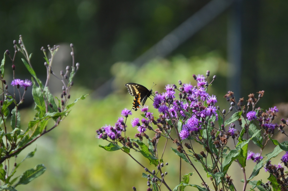 Black swallowtail nectaring on New York ironweed. Photo by Blake Goll/Staff