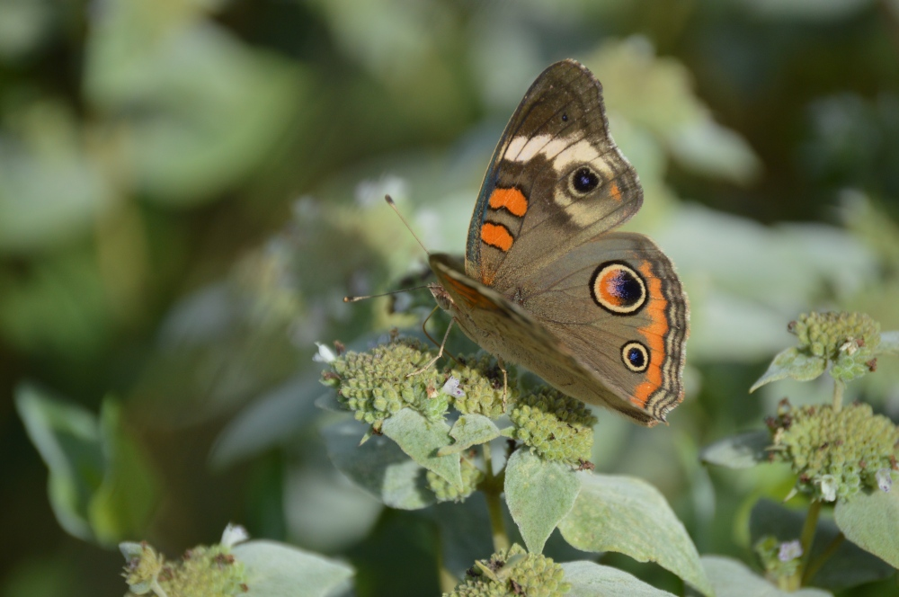 "The uncommonly beautiful Common buckeye. The ""eyespots"" look celestial to me. Photo by Blake Goll/Staff"