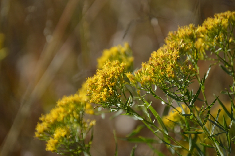 Grass leaved goldenrod. Photo by Blake Goll/Staff