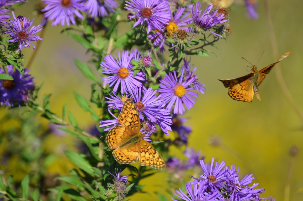 A ballet of Great spangled fritillaries on asters in late September. Photo by Blake Goll/Staff.