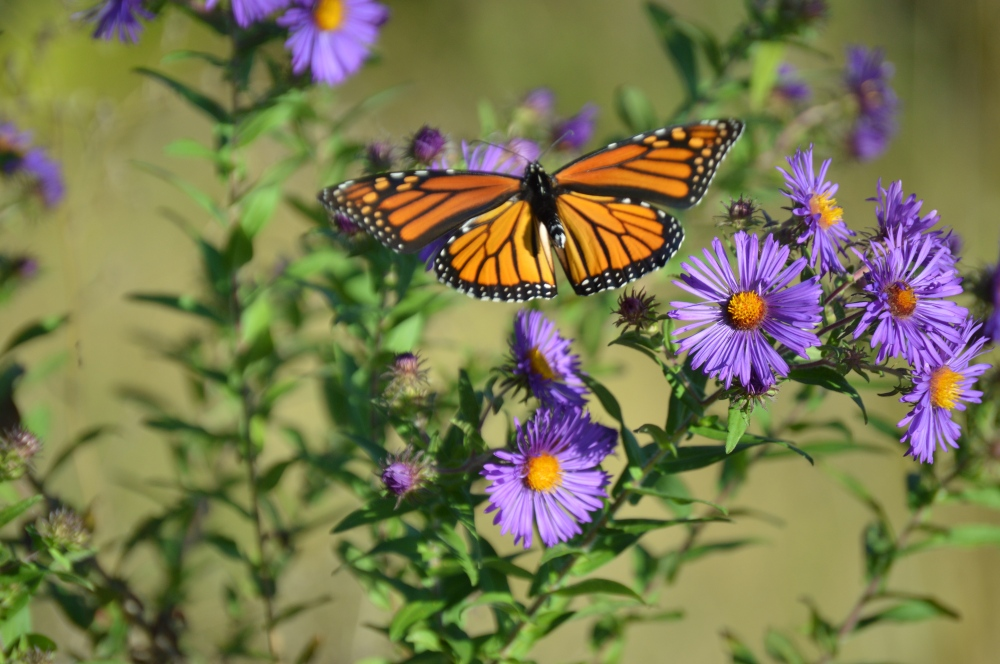 Monarch Butterfly flying over asters in the Willistown Conservation Trust's wildflower meadow on Providence Road. Photo by Blake Goll/Staff