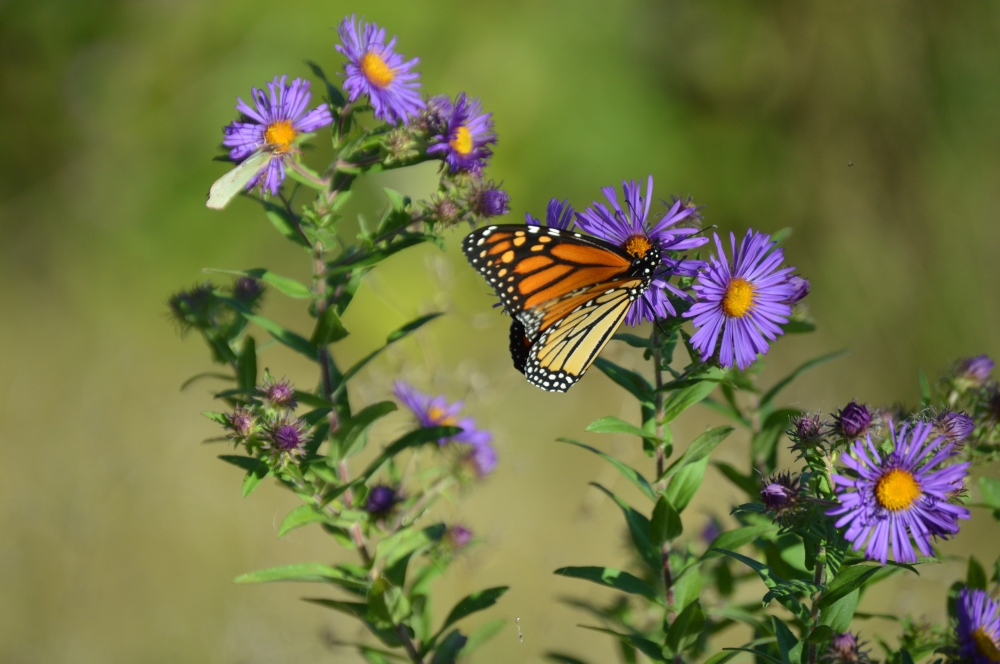 A beautiful monarch dines with a sulfur in the background. Photo by Blake Goll/Staff