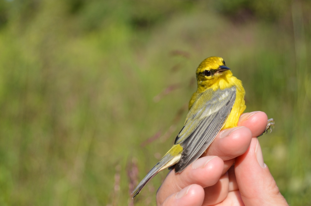 Female Blue-winged Warbler banded at Rushton this August. Photo by Blake Goll/Staff