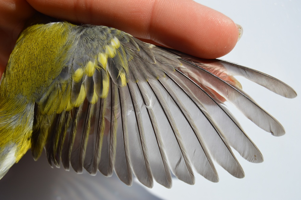 Male Blue-winged Warbler (Possible Brewster's Warbler) banded this August. Photo by Blake Goll/Staff