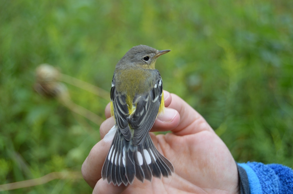 Magnolia Warbler banded this September. Photo by Blake Goll/Staff