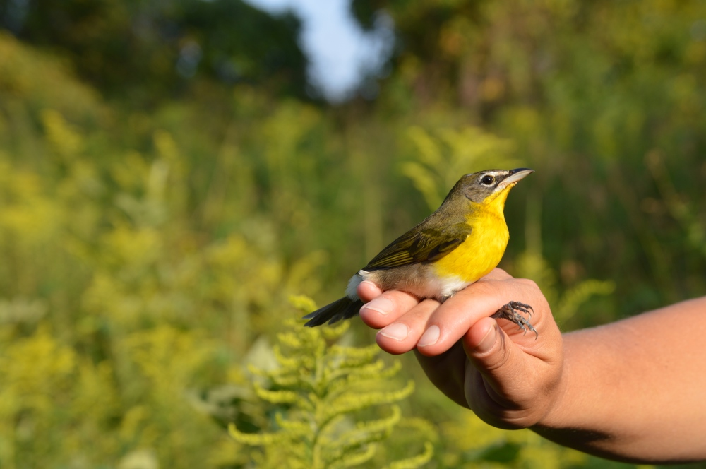Yellow-breasted Chat banded last September. Photo by Blake Goll/Staff