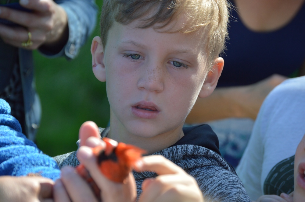 Elementary school student admiring a Northern Cardinal this spring. Photo by Blake Goll/Staff