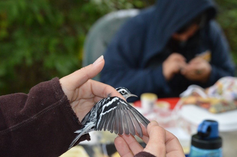 Black-and-white Warbler banded last fall. Photo by Blake Goll/Staff