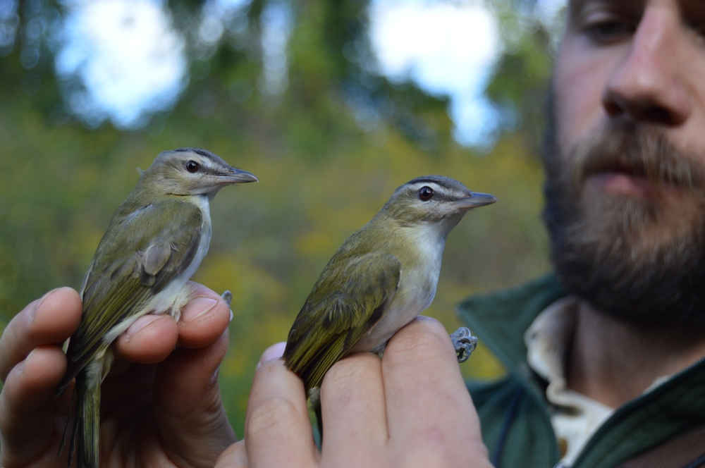Red-eyed Vireos banded last October. Photo by Blake Goll/Staff