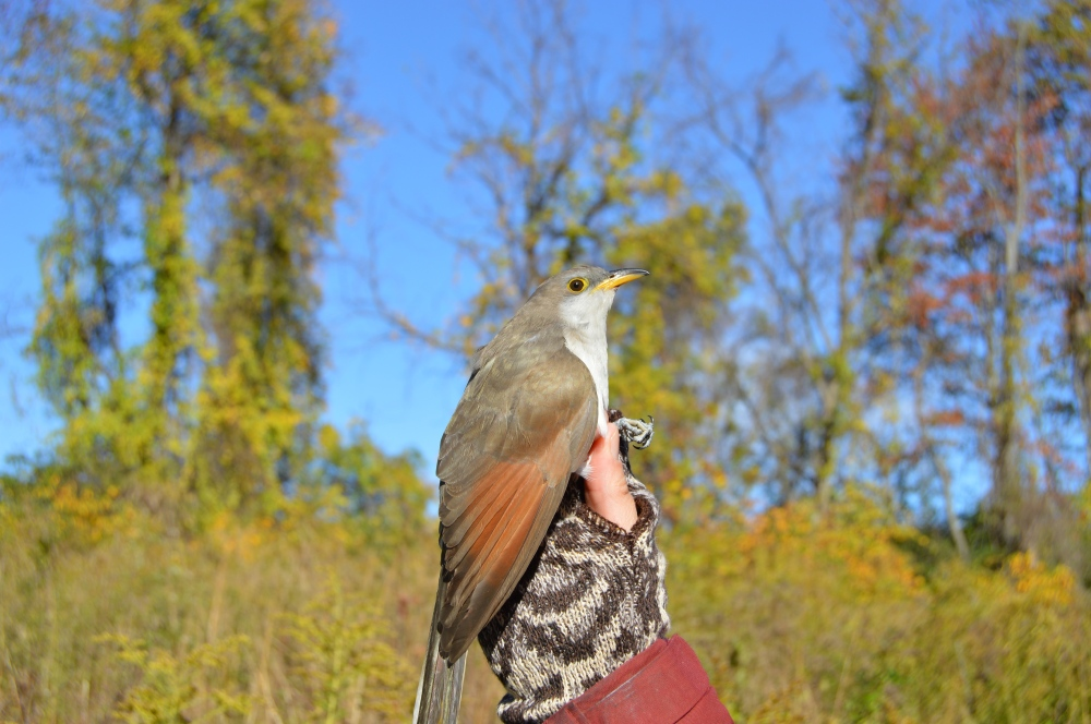 Yellow-billed Cuckoo banded at Rushton on October 25, 2016. Photo by Blake Goll/Staff