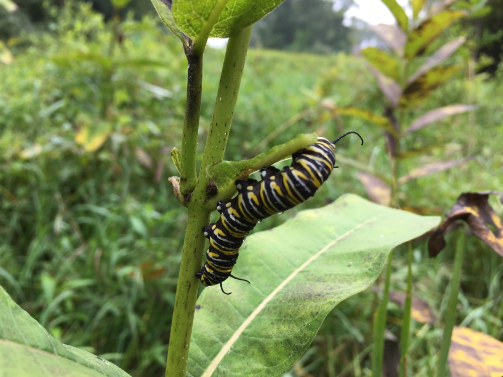 Monarch butterfly caterpillar on milkweed at Rushton this September. Photo by Blake Goll/Staff