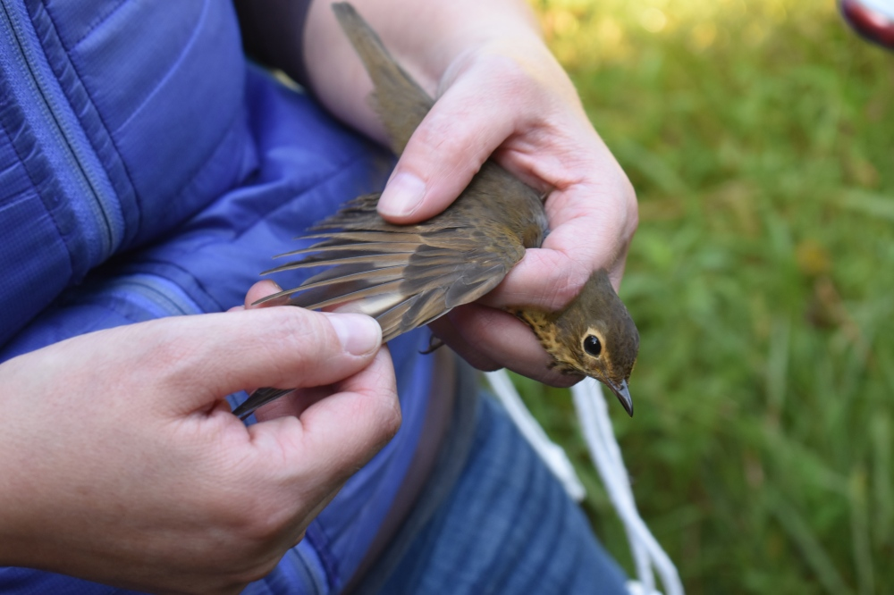 Swainson's Thrush banded in September. Photo by UPenn student, Yimei Li