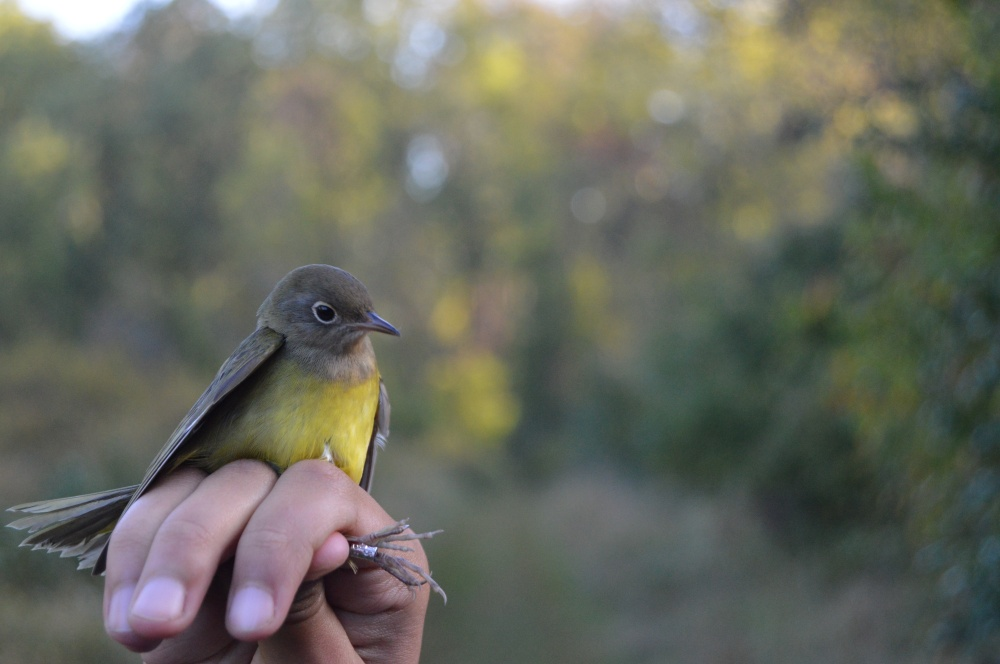 Connecticut Warbler banded in October. Photo by Blake Goll