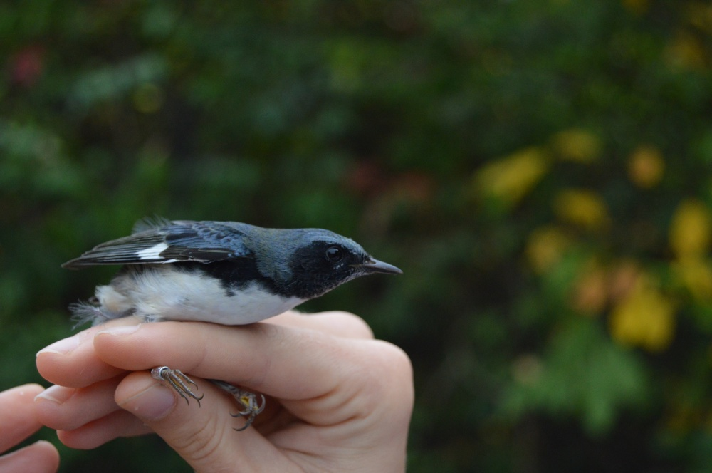 Black-throated Blue Warbler banded in October. Photo by Blake Goll