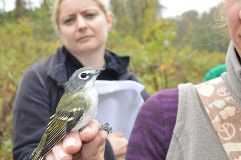 Blue-headed Vireo banded at Rushton in October. Photo by Blake Goll
