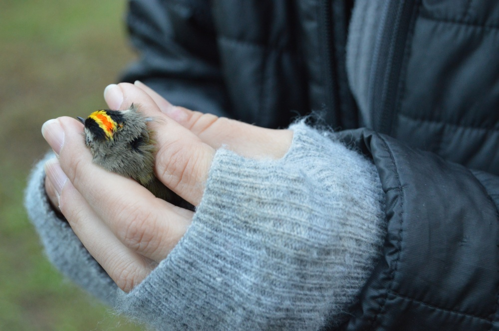Golden-crowned Kinglet banded in November. Photo by Blake Goll