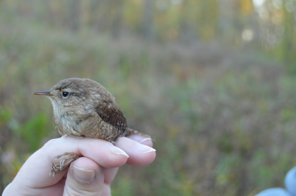 Winter Wren banded at Rushton on Halloween. Photo by Blake Goll