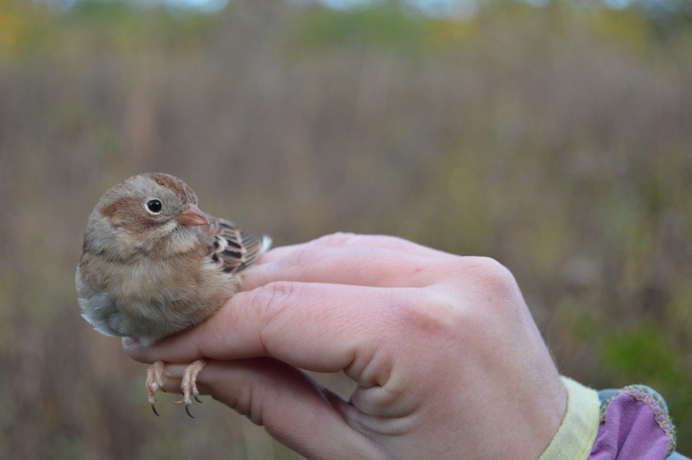 Field Sparrow banded in October. Photo by Blake Goll