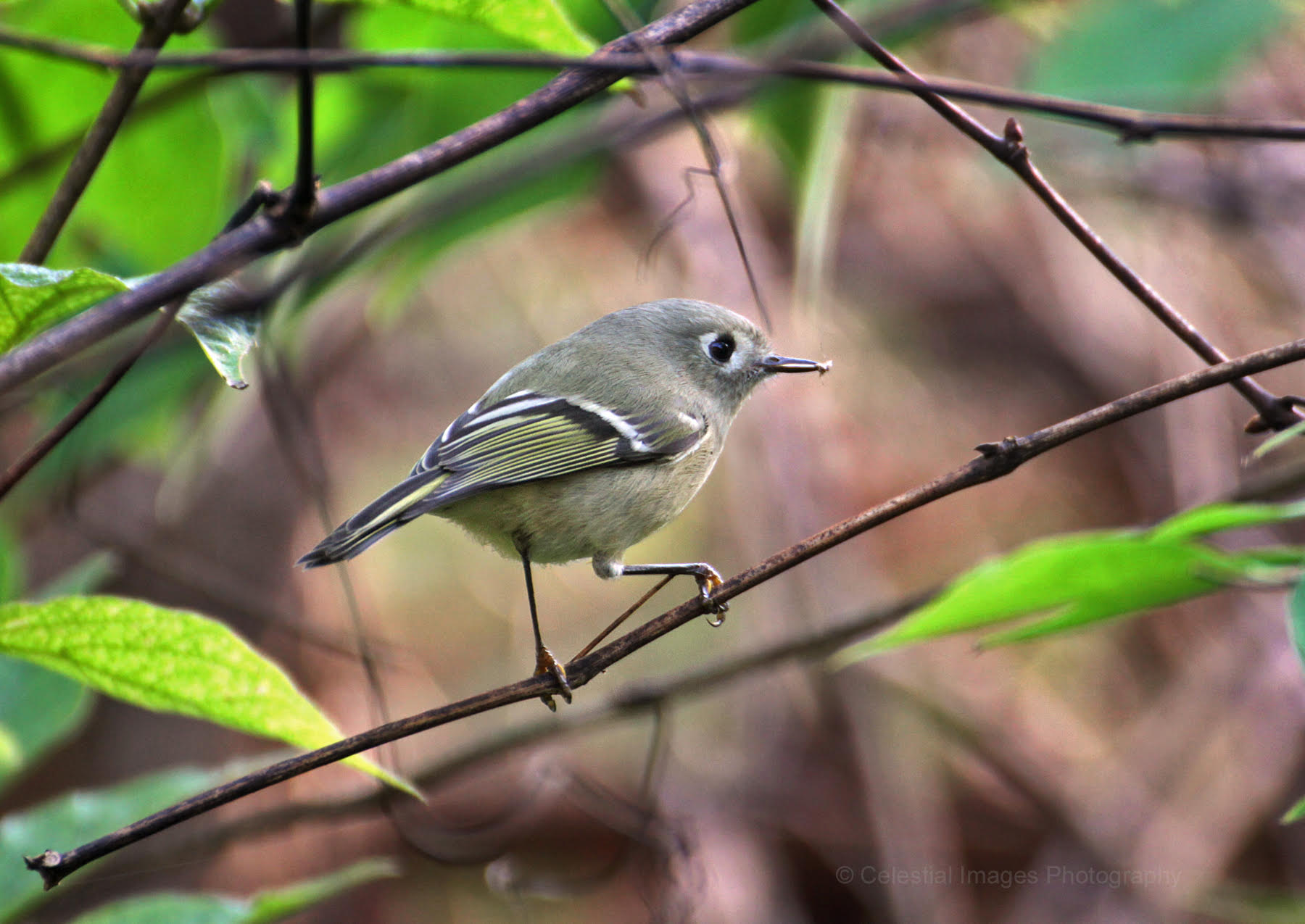 Ruby-crowned Kinglet feeding at Rushton November 3rd. Photo by Celeste Sheehan