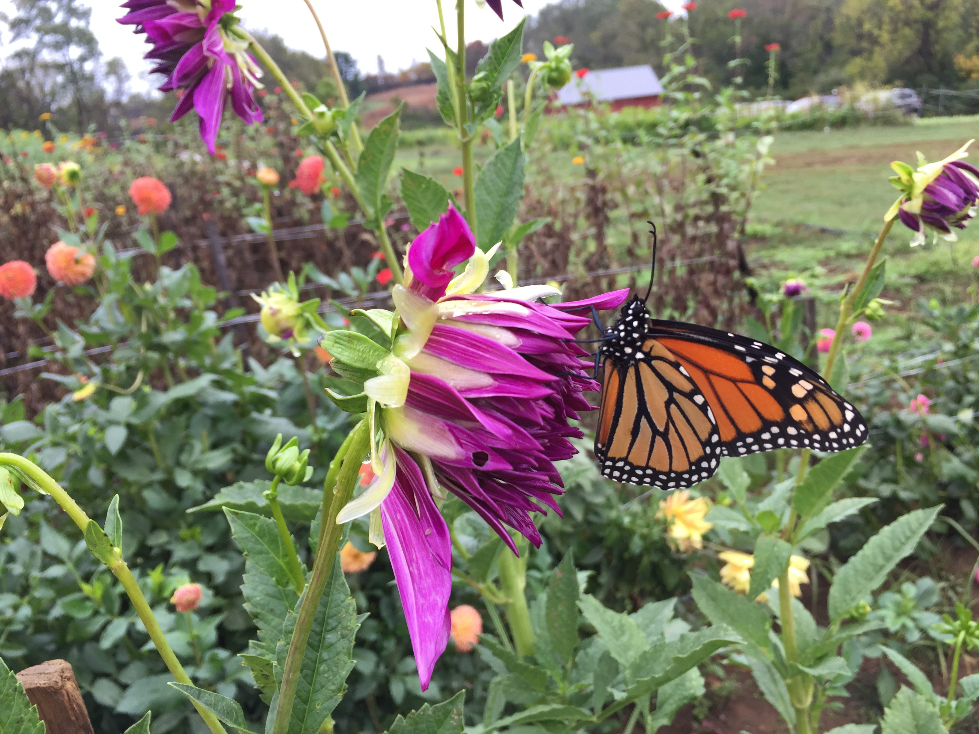 Monarch on dahlia at Rushton in October. Photo by Blake Goll