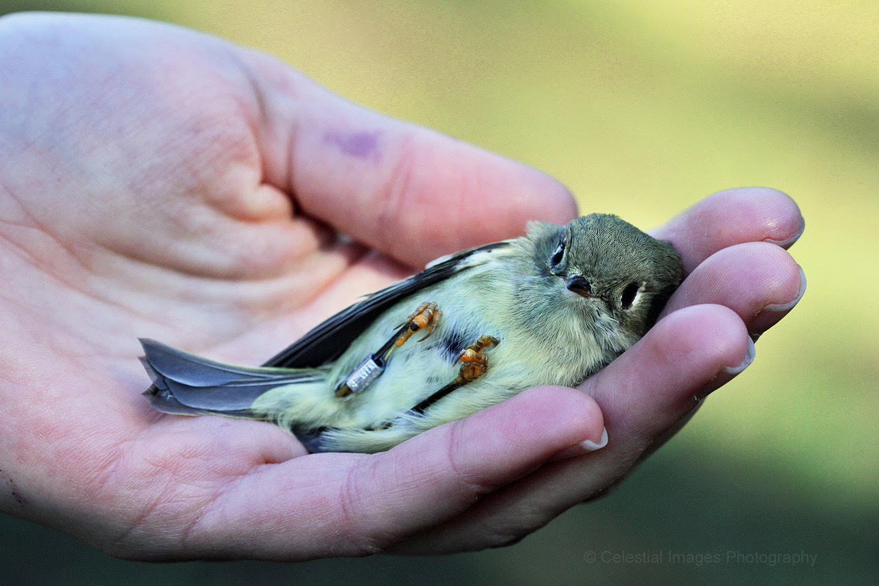 Ruby-crowned Kinglet banded in October. Photo by Celeste Sheehan